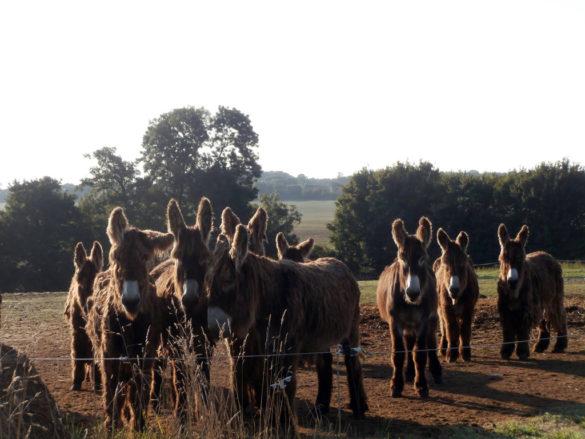 Donkey of Poitou crézières