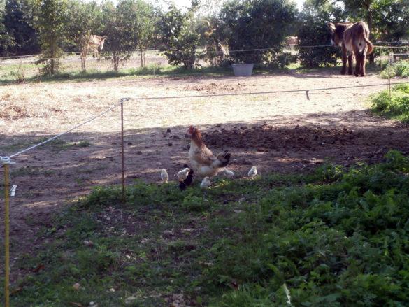 Poules et poussins à la Ferme du Champ du Parc