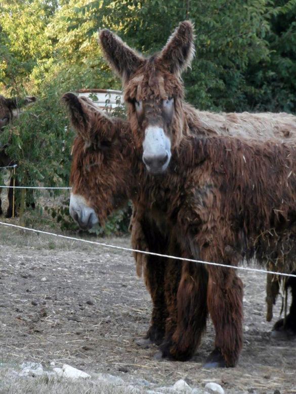 Donkey of Poitou in the Deux Sèvres