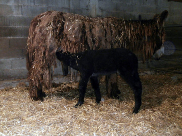 donkey and her baby at Ferme du Champ du Parc