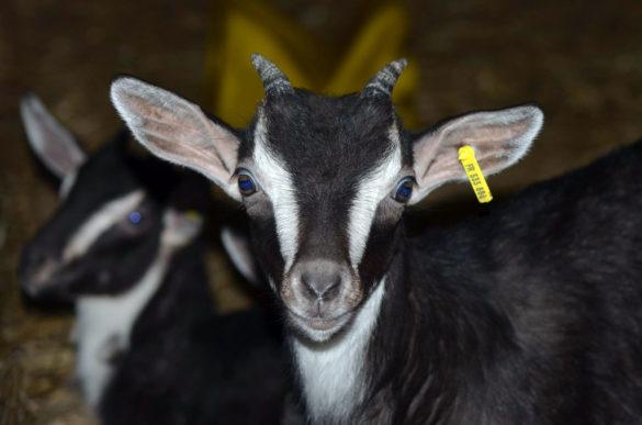 Goat of Poitou at la Ferme du Champ du Parc