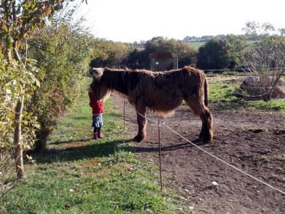 Donkey of Poitou at la Ferme du Champ du Parc