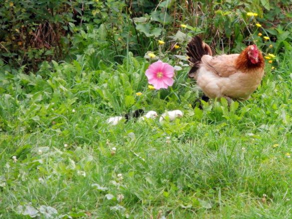 Chicken of Marans at la Ferme du Champ du Parc