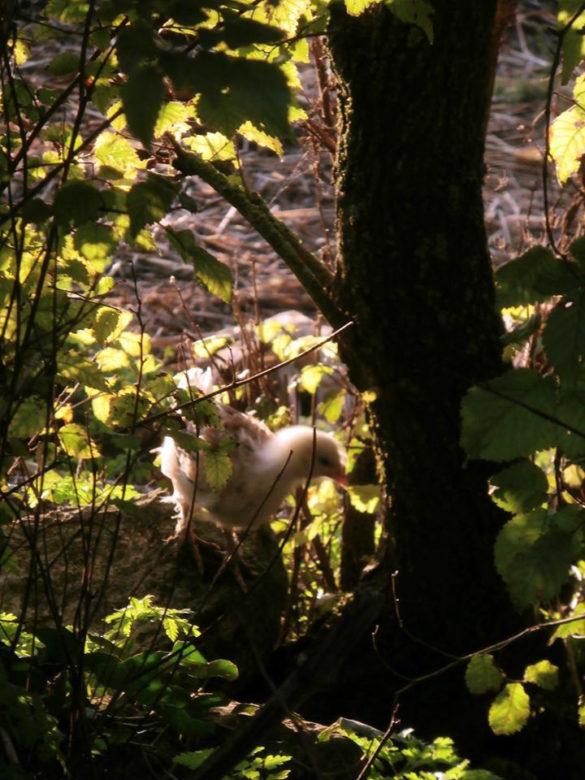 Poussin dans les bois
