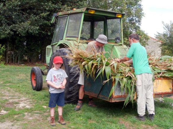 Corn for donkeys of Poitou